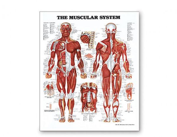 Chart, muscular